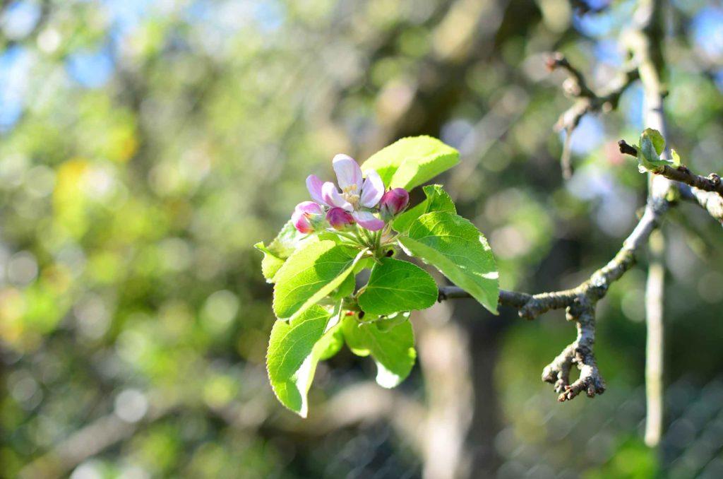 roetsch-Apfelbluete