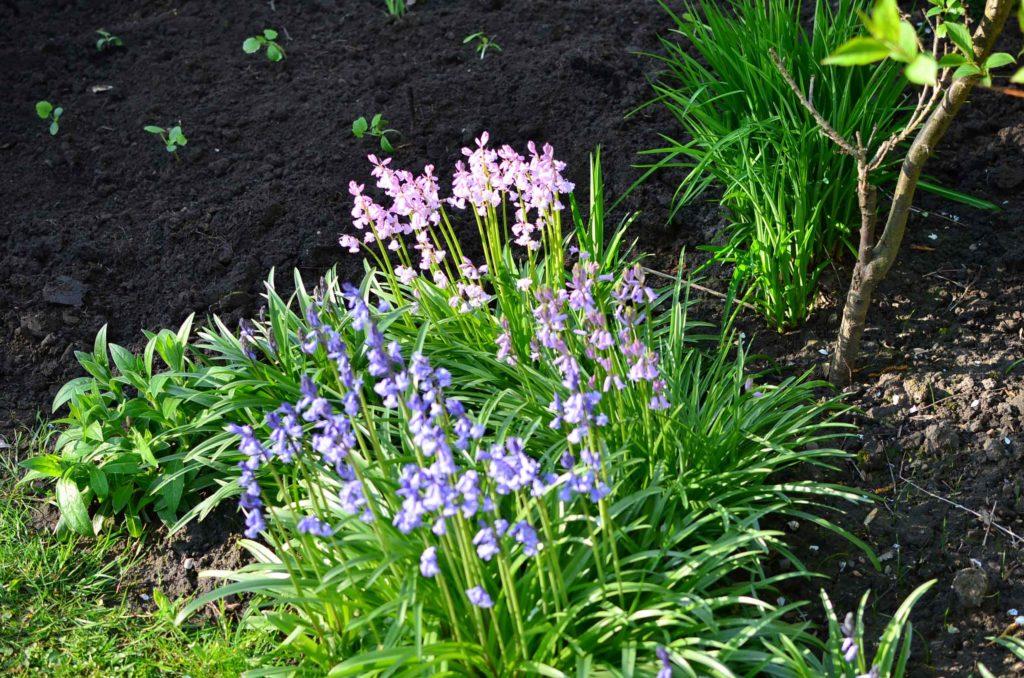 roetsch-frisch-in-den-Garten-gepflanzte-Zucchini-Pflaenzchen