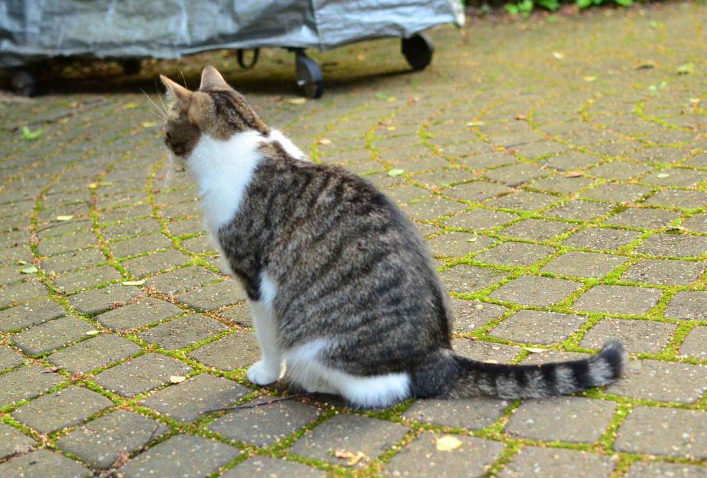 roetsch-Katze-sitzend-im-Garten---Vorlage-Katzen-Freebie